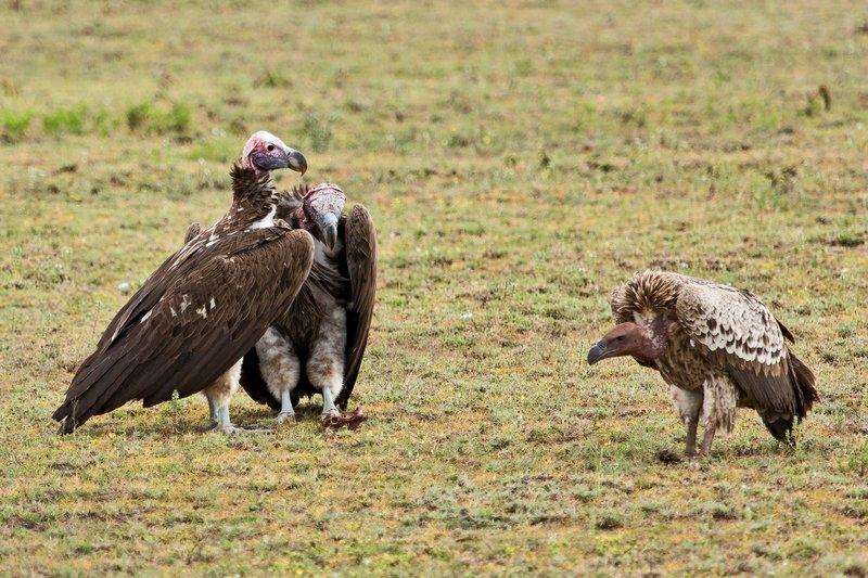 large_Vultures__..Griffon_7-1.jpg