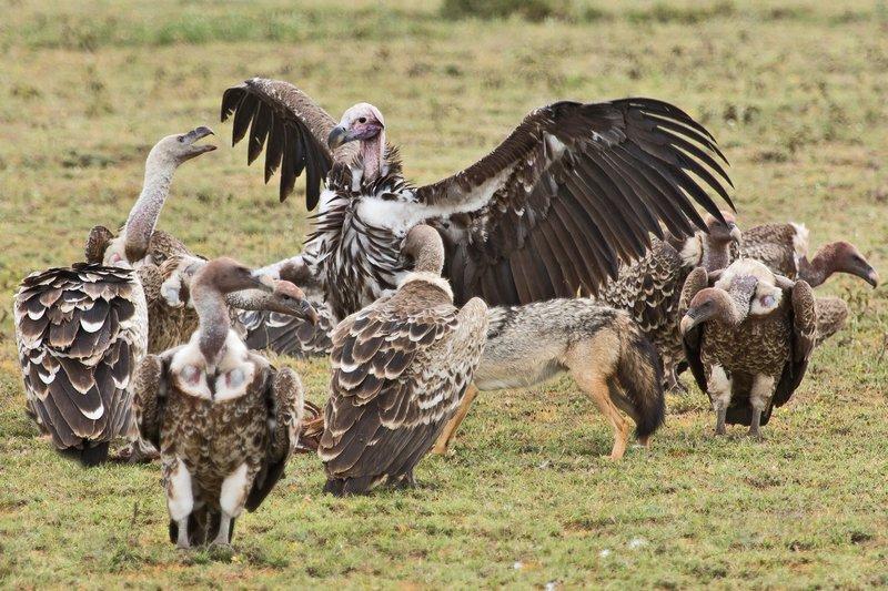 large_Vultures__..Jackal_7-10.jpg
