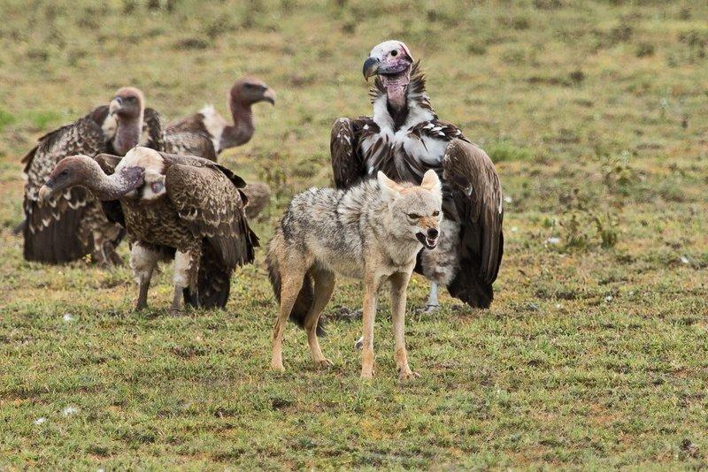 large_Vultures__..Jackal_7-12.jpg
