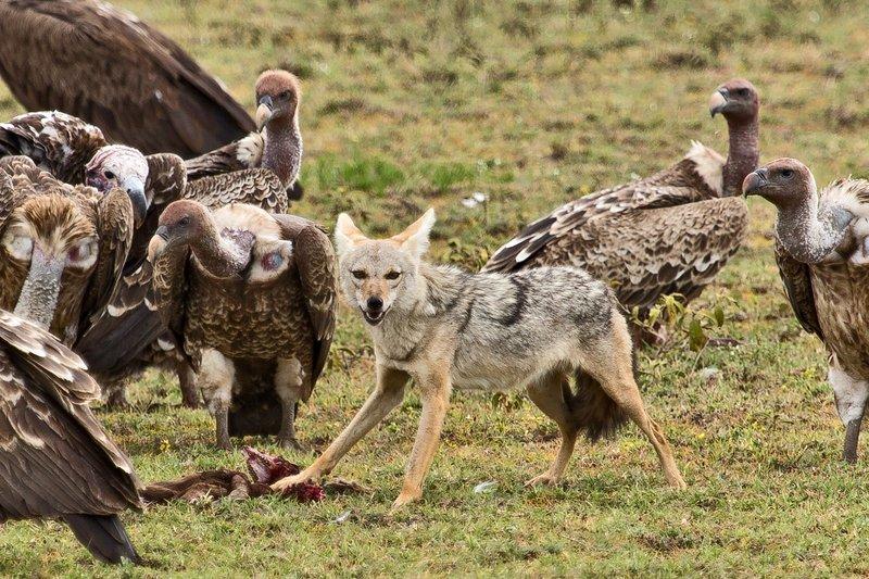 large_Vultures__.._Jackal_7-5.jpg