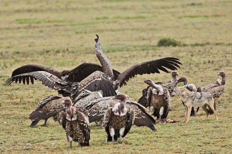 large_Vultures__.._Jackal_7-6.jpg