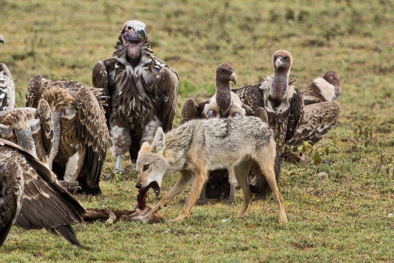 large_Vultures__.._Jackal_7-8.jpg