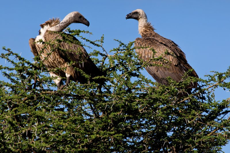 large_Vultures__.._Necked_9-1.jpg