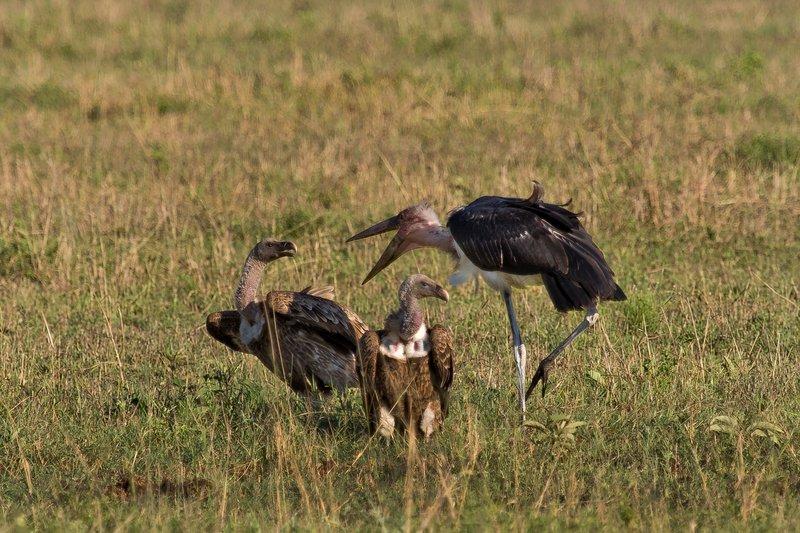 large_Vultures__.._Stork_10-2.jpg