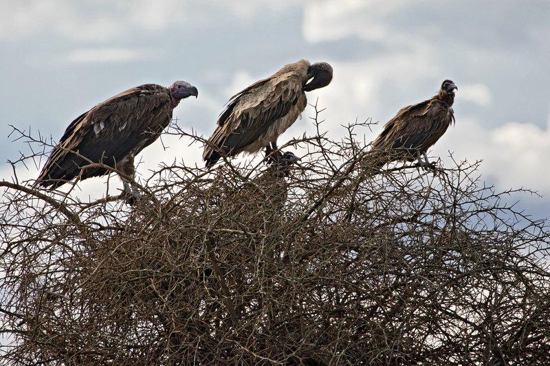 large_Vultures__..__Hooded__1.jpg