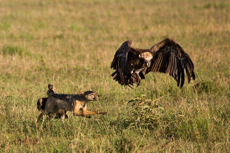 large_Vultures__..ackal_10-10.jpg