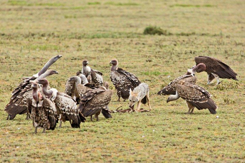 large_Vultures_a.._Jackal_7-1.jpg