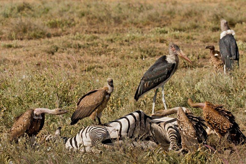 large_Vultures_a..ead_Zebra_2.jpg
