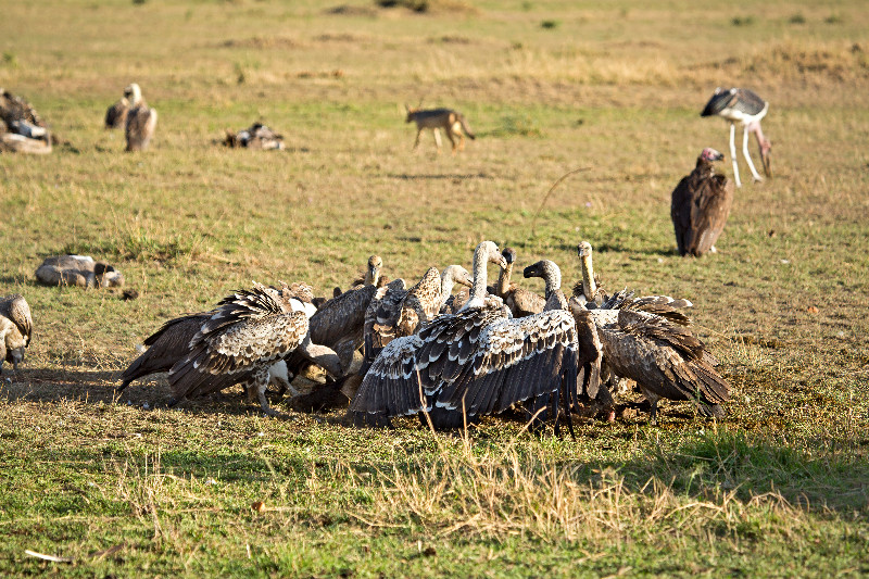 large_Vultures_o..t_Carcass_1.jpg