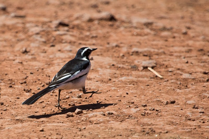 large_Wagtail__African_Pied_6-1.jpg