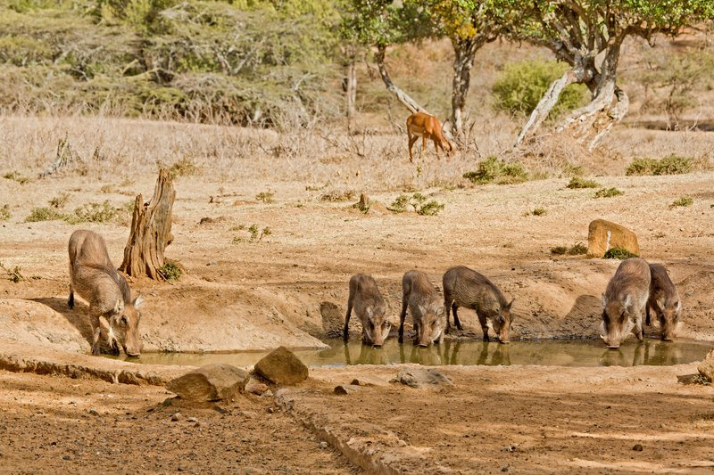 large_Warthogs_and_Impala_207.jpg
