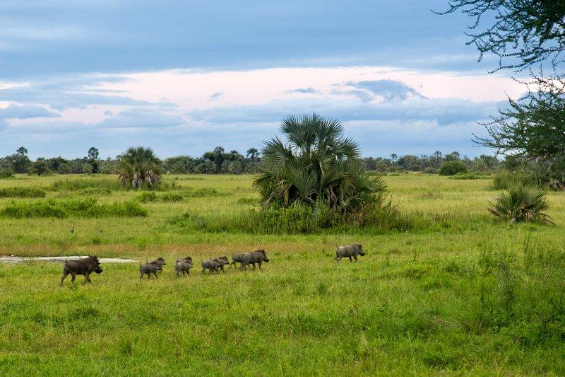 large_Warthogs_at_Maramboi_21.jpg