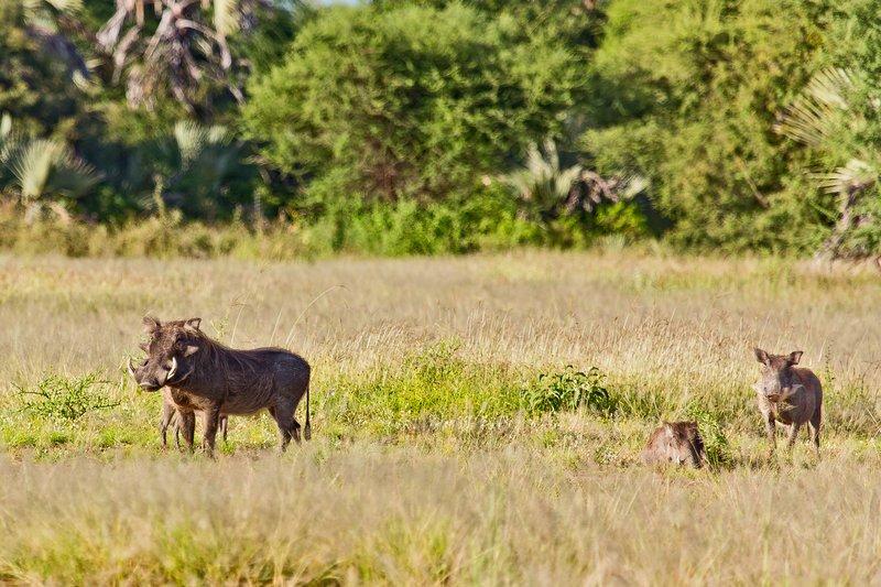 large_Warthogs_at_Maramboi_23.jpg