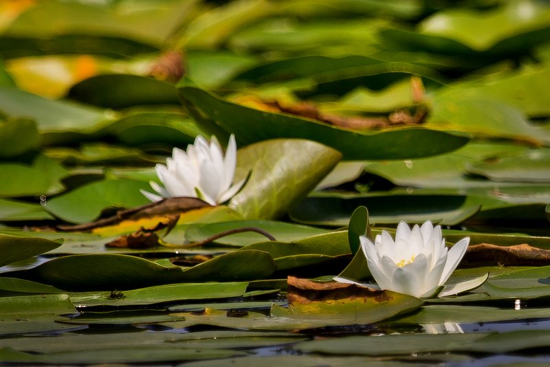 large_Water_Lily_32.jpg