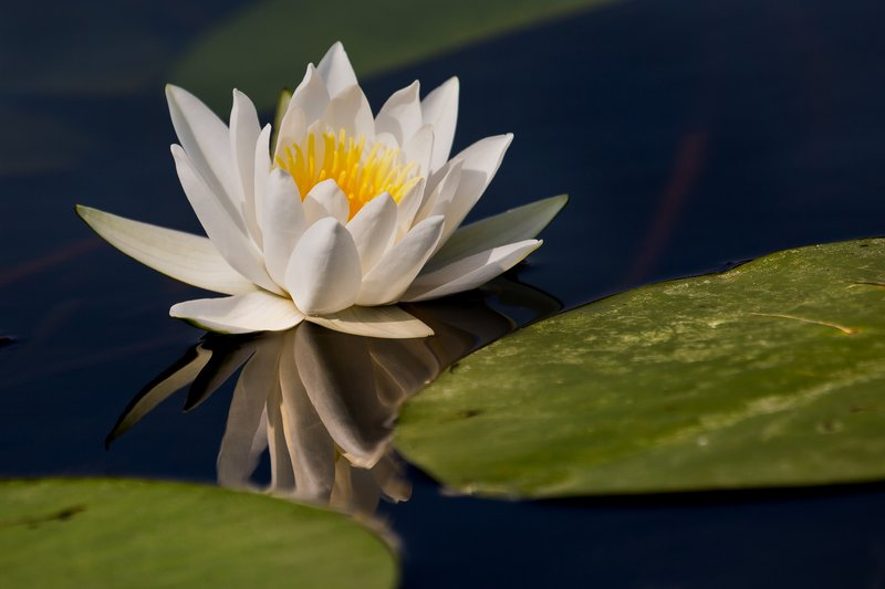 large_Water_Lily_34.jpg