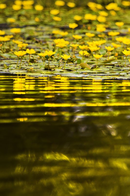 large_Water_Lily_37.jpg