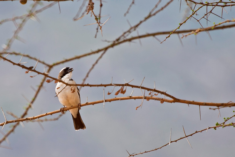 large_White_Browed_Sparrow_2.jpg