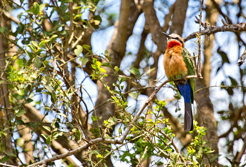 large_White_Fronted_Bee_Eater_1.jpg