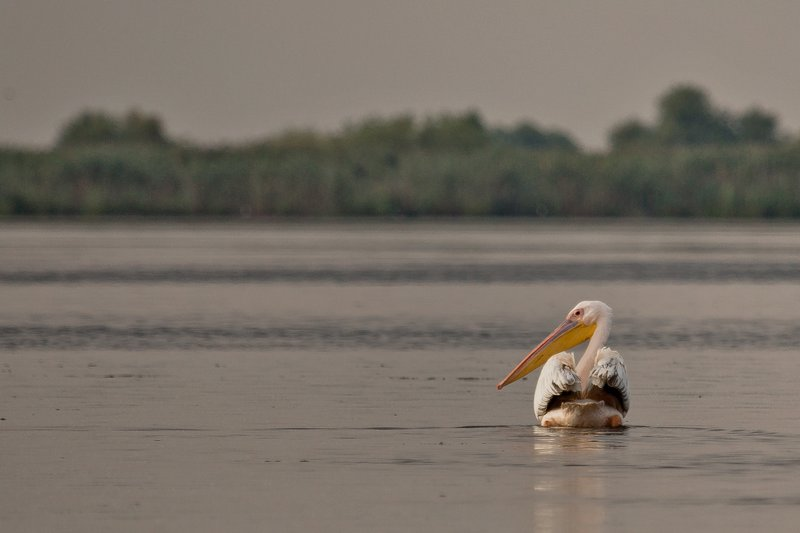 large_White_Pelican_2.jpg