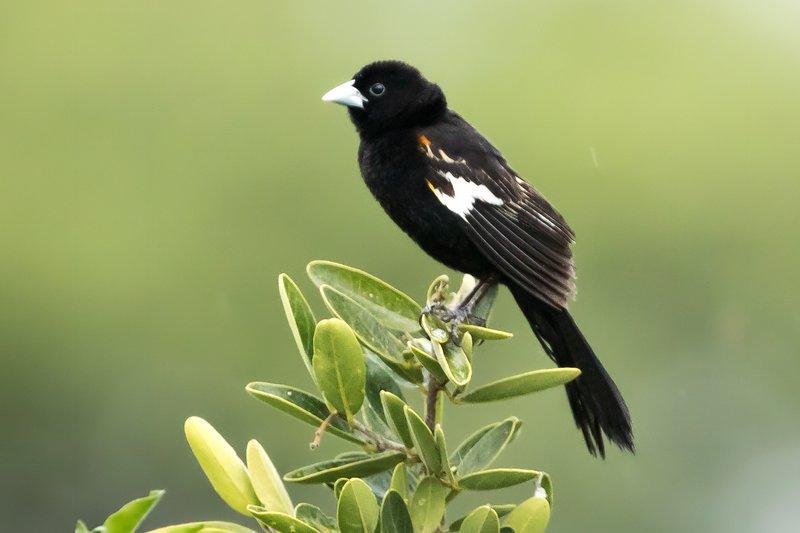 large_Widow_Bird..te_Winged_1.jpg