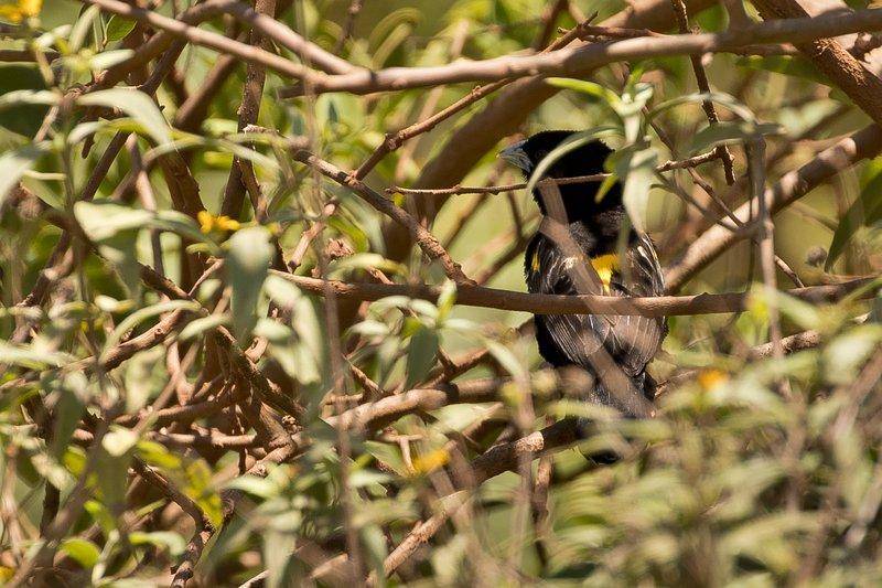 large_Widow_Bird..w_Mantled_1.jpg