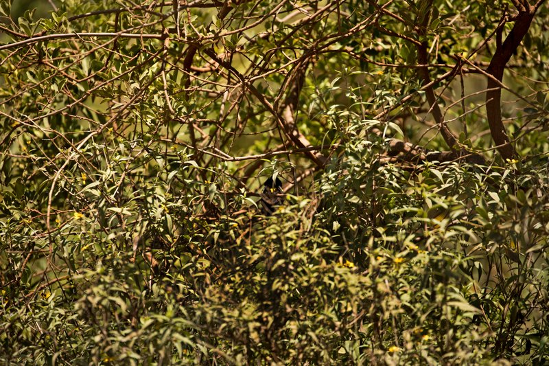 large_Widow_Bird..w_Mantled_2.jpg