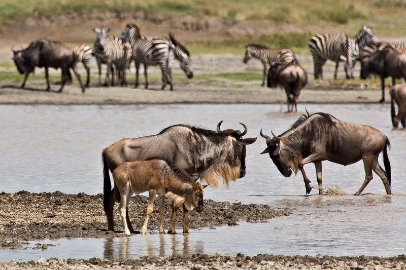 large_Wildebeest..Valley_8-11.jpg