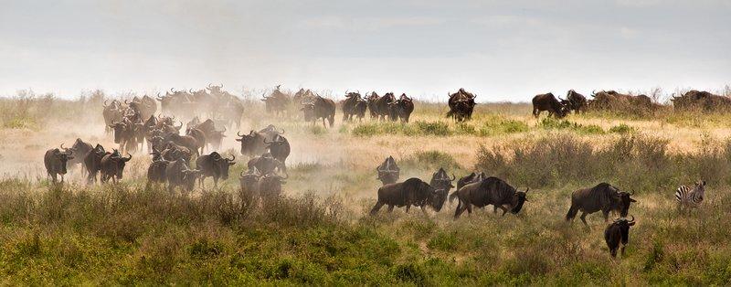 large_Wildebeest.._Valley_8-2.jpg