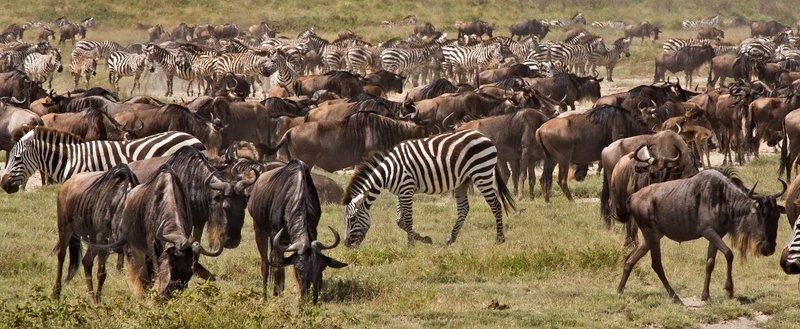 large_Wildebeest.._Valley_8-3.jpg