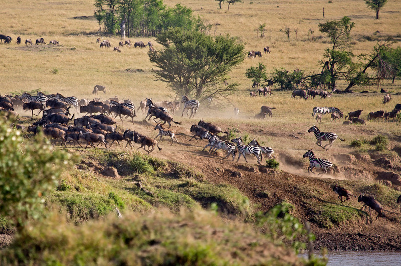 large_Wildebeest..a_Spooked_1.jpg