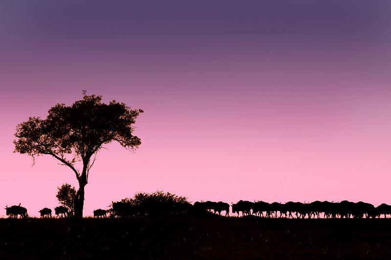 large_Wildebeest..e_Sunrise_1.jpg