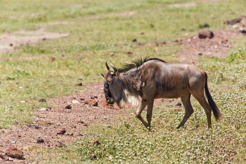 large_Wildebeest_6-4.jpg