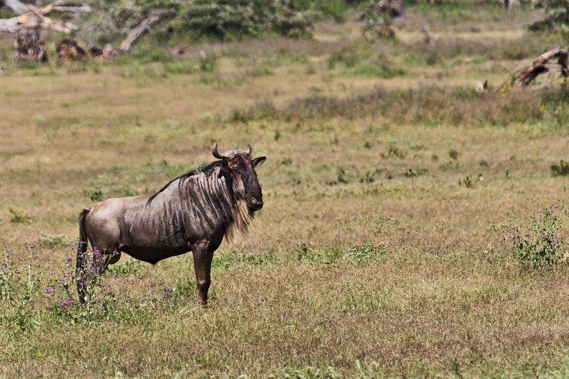 large_Wildebeest_6-7.jpg