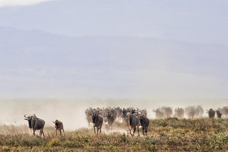large_Wildebeest_Migration_5.jpg