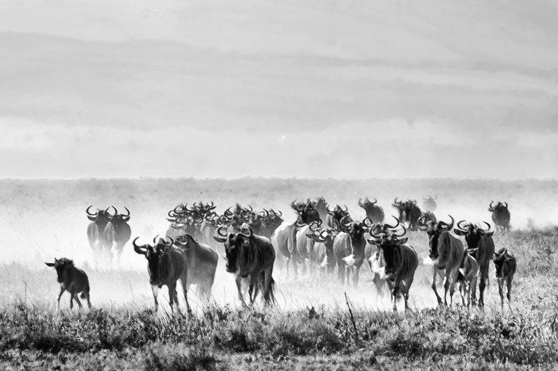 large_Wildebeest_Migration_6.jpg