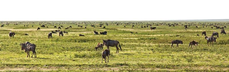 large_Wildebeest_Migration_7-2.jpg