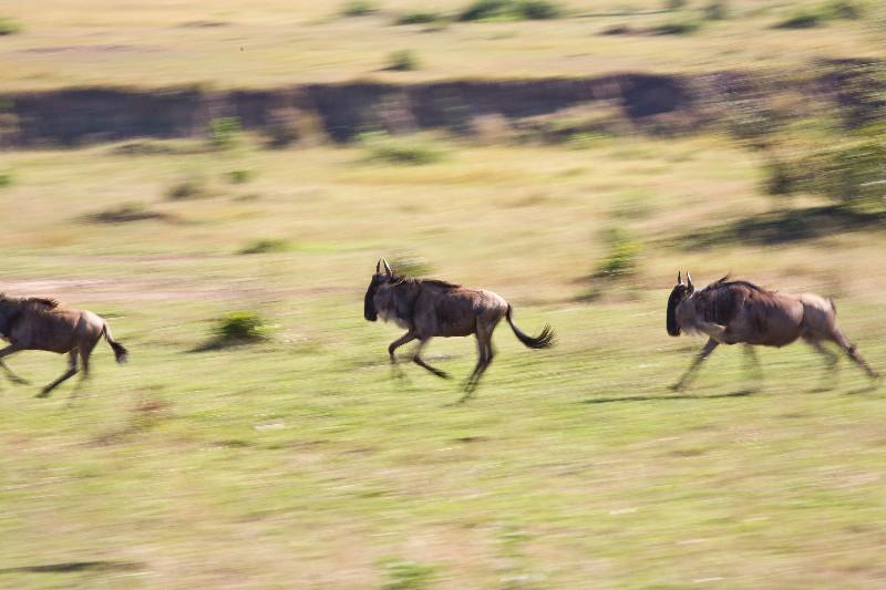 large_Wildebeest_Running_1.jpg