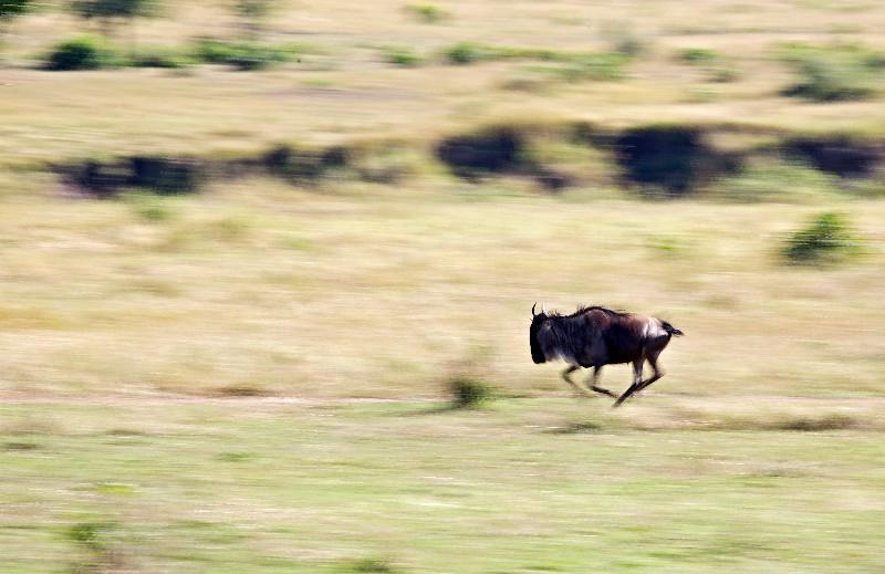 large_Wildebeest_Running_3.jpg