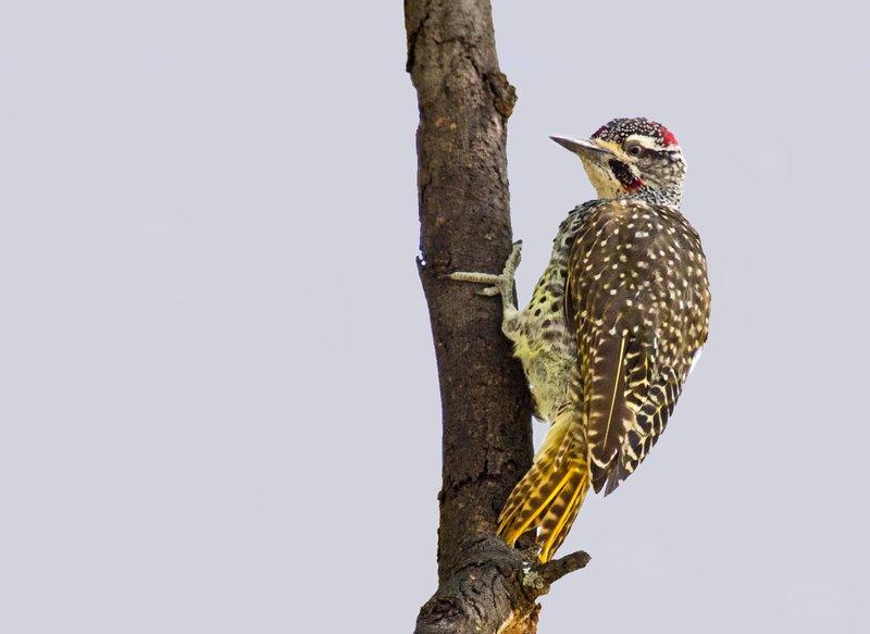 large_Woodpecker__Nubian_6-1.jpg