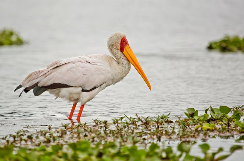 large_Yellow_Billed_Stork_33.jpg