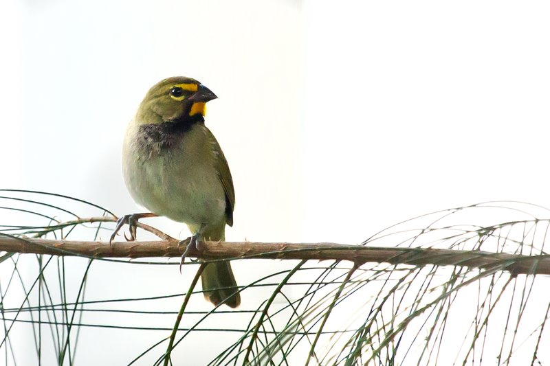 large_Yellow_Faced_Grassquit_4.jpg
