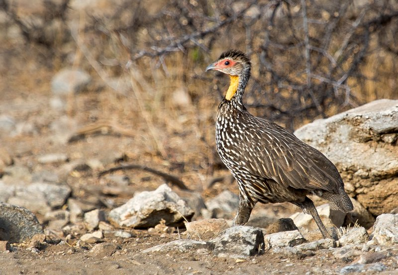 large_Yellow_Necked_Spurfowl_1.jpg