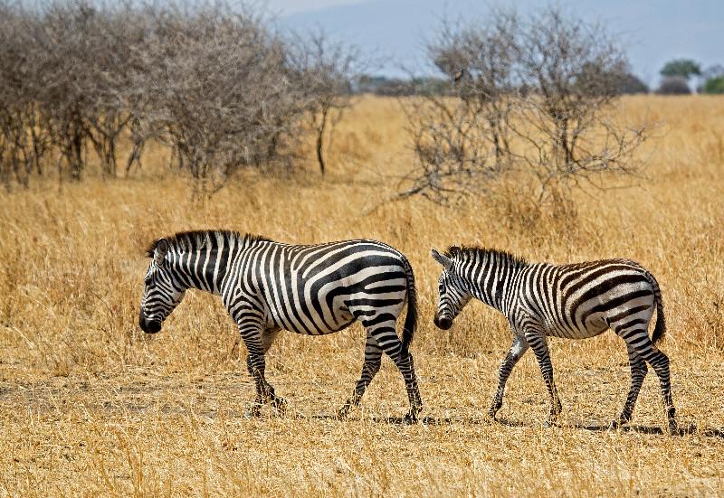 large_Zebra_2.jpg