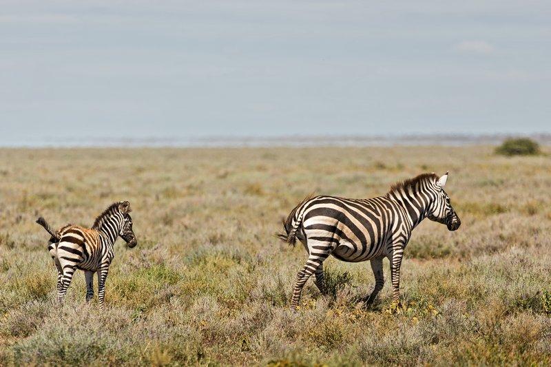large_Zebra_32.jpg