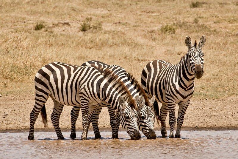 large_Zebra_405.jpg