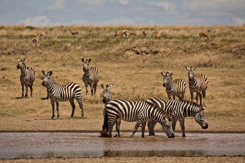 large_Zebra_408.jpg