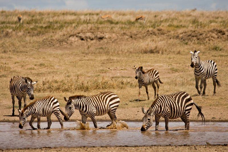large_Zebra_418.jpg