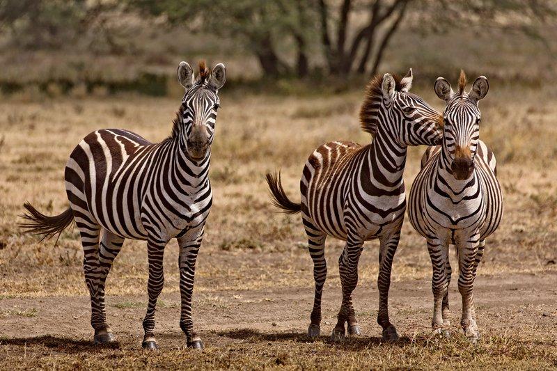large_Zebra_42.jpg
