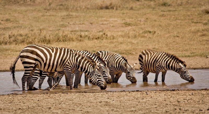 large_Zebra_423.jpg