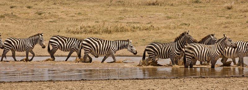large_Zebra_426.jpg
